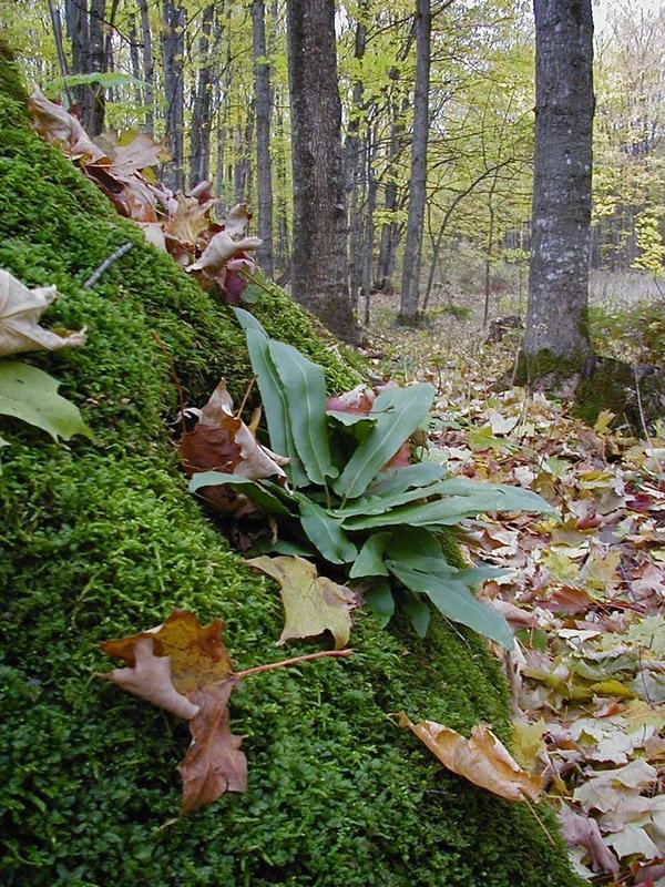 By Linda Swartz - http://www.fs.fed.us/wildflowers/plant-of-the-week/images/hartstonguefern/asplenium_scolopendrium_americanum_hab_lg.jpg, Public Domain, https://commons.wikimedia.org/w/index.php?curid=12221569