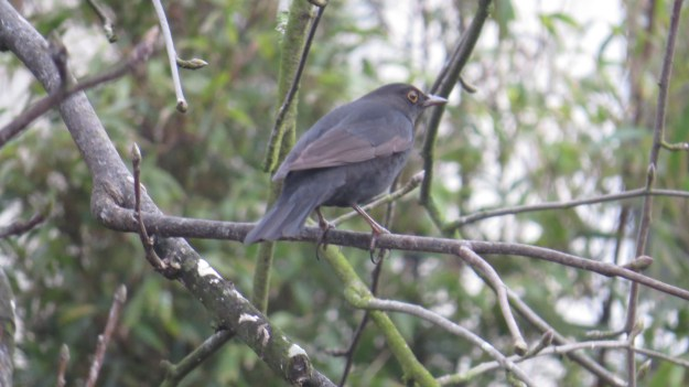 Young male blackbird (Turdus merula)