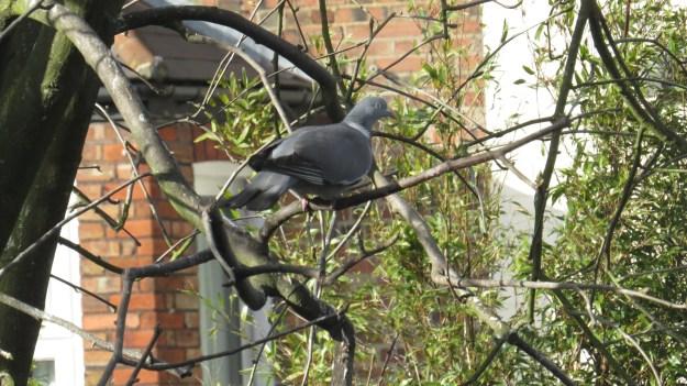 Woodpigeon in the whitebeam tree