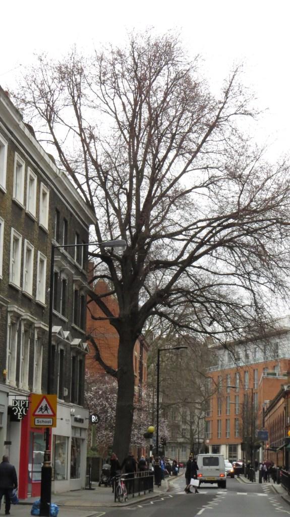 The Marylebone Elm (Ulmus x hollandica 'Vegeta')