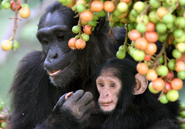 Photo Five (chimps) by By Alain Houle (Harvard University) [CC BY 4.0 (http://creativecommons.org/licenses/by/4.0)], via Wikimedia Commons
