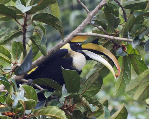 Photo Three (Hornbill) By Lip kee (http://www.flickr.com/photos/lipkee/5110158240/) [CC BY-SA 2.0 (https://creativecommons.org/licenses/by-sa/2.0)], via Wikimedia Commons