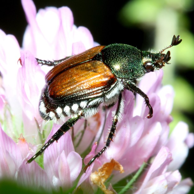 Photo Four by By Bruce Marlin - Own work http://www.cirrusimage.com/beetles_japanese.htm, CC BY 3.0, https://commons.wikimedia.org/w/index.php?curid=6076675