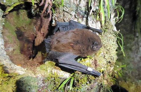 Photo Four from https://www.doc.govt.nz/nature/native-animals/bats-pekapeka/long-tailed-bat/