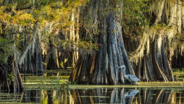 Photo Five from https://arbordayblog.org/treeoftheweek/baldcypress-king-swamp/