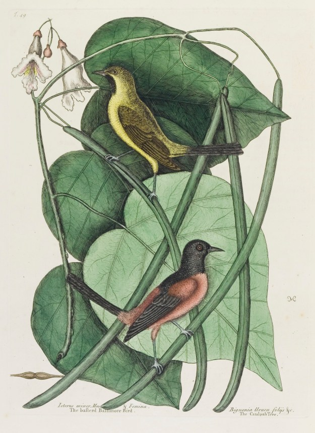 Photo Seven from https://commons.wikimedia.org/wiki/File:Catalpa_bignonioides,_from_The_natural_history_of_Carolina..._Wellcome_L0047451.jpg