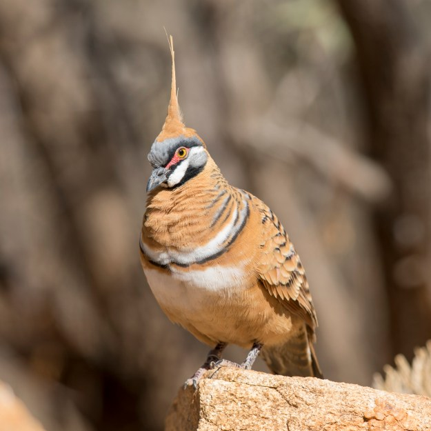 Spinifex pigeon IGeophaps plumifera) by By Andreas Trepte - Own work, CC BY-SA 4.0, https://commons.wikimedia.org/w/index.php?curid=62541555