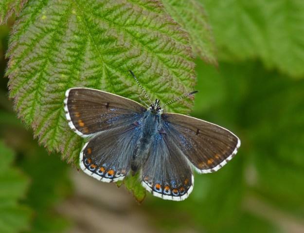 Photo 14 ii) by Neil Hulme from https://www.ukbutterflies.co.uk/album_photo.php?id=14001
