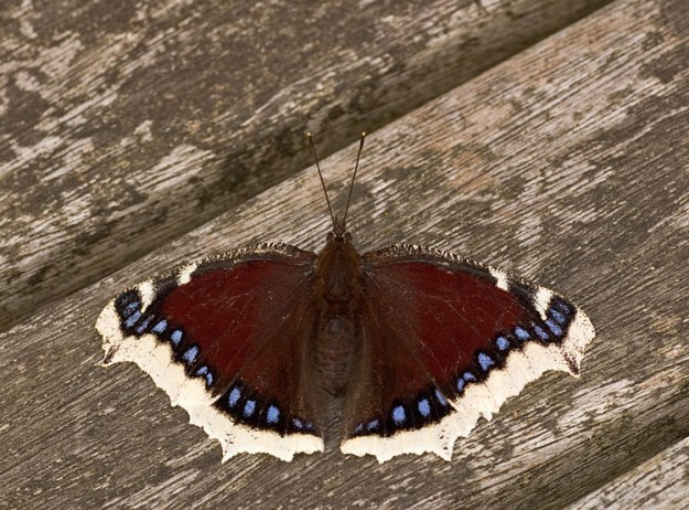 Photo Eleven by Paul Olive, from https://www.ukbutterflies.co.uk/album_photo.php?id=4714