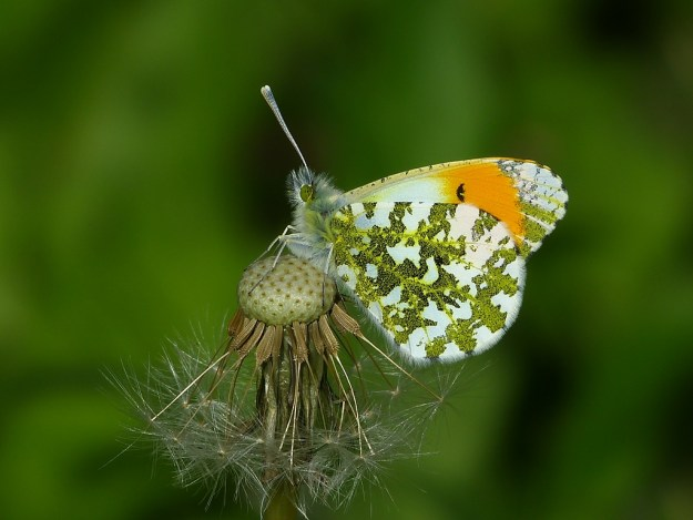 Photo 5) ii) by Mike Skittrall from https://www.ukbutterflies.co.uk/album_photo.php?id=20406