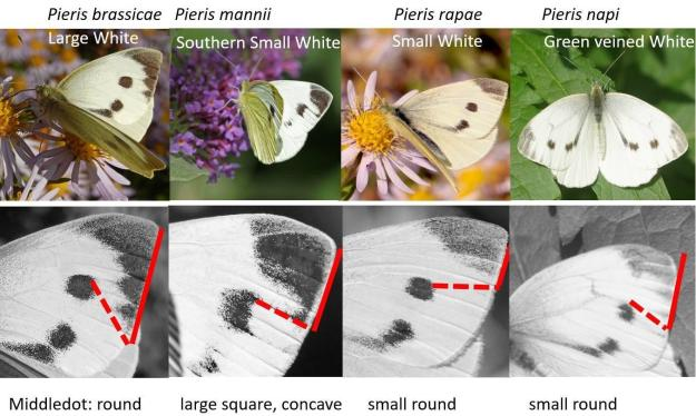 Photo Five by Chris Van Swaay from https://www.vlinderstichting.nl/ via Butterfly Conservation https://butterfly-conservation.org/butterflies/southern-small-white