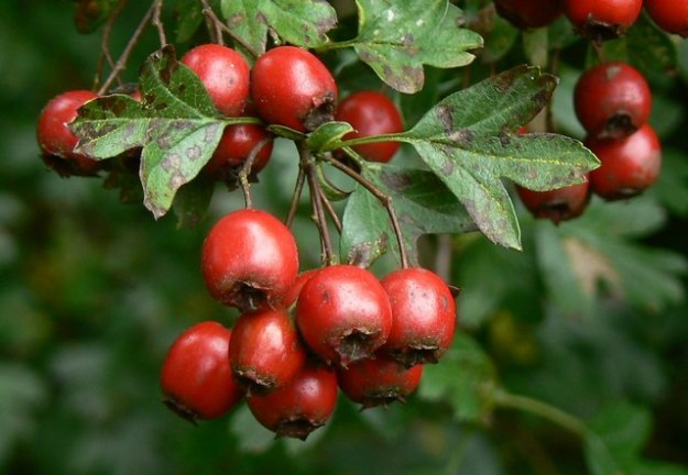 Photo Four by Brian Robert Marshall / Hawthorn berries, Postern Hill, Savernake Forest