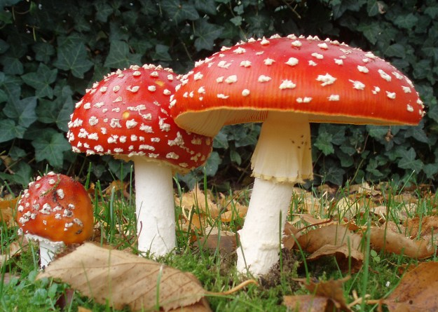 Photo Four by Amanita_muscaria_3_vliegenzwammen_op_rij.jpg: Onderwijsgekderivative work: Ak ccm, CC BY-SA 3.0 NL <https://creativecommons.org/licenses/by-sa/3.0/nl/deed.en>, via Wikimedia Commons