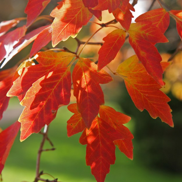 Photo One from https://treeheritage.co.uk/planting-trees-for-autumn-colour/acer-griseum-autumn-colour/
