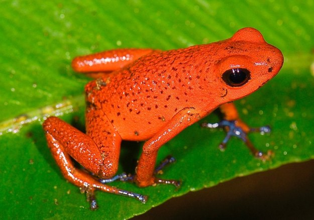 Photo One by By Marshal Hedin from San Diego - Oophaga pumilio (Strawberry poision frog)Uploaded by Jacopo Werther, CC BY 2.0, https://commons.wikimedia.org/w/index.php?curid=24872534