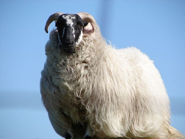 Photo Eight by By Iain and Sarah from London, UK - Sheep, CC BY 2.0, https://commons.wikimedia.org/w/index.php?curid=4671729