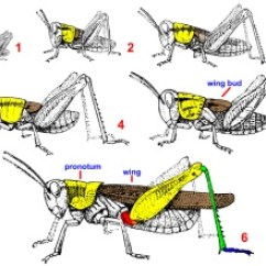 Grasshopper Insect Diagram Astronaut Suit Orthoptera Bugwoodwiki Life Cycle First Through Fifth Instars And Adult Note That Only The Has Fully Formed Wings All Immatures Have Wing Buds
