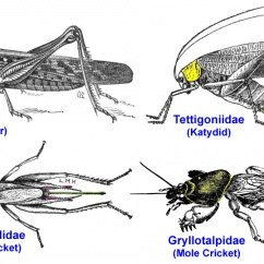 Cricket Life Cycle Diagram Automotive Air Conditioning Wiring Orthoptera Bugwoodwiki