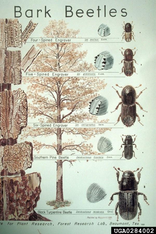Bark Beetles Subfamily Scolytinae Coleoptera