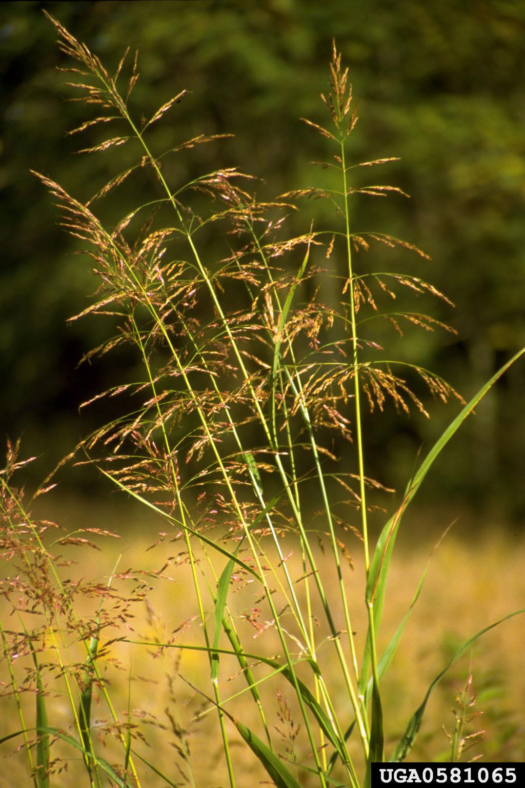 johnsongrass Sorghum halepense Cyperales Poaceae  0581065