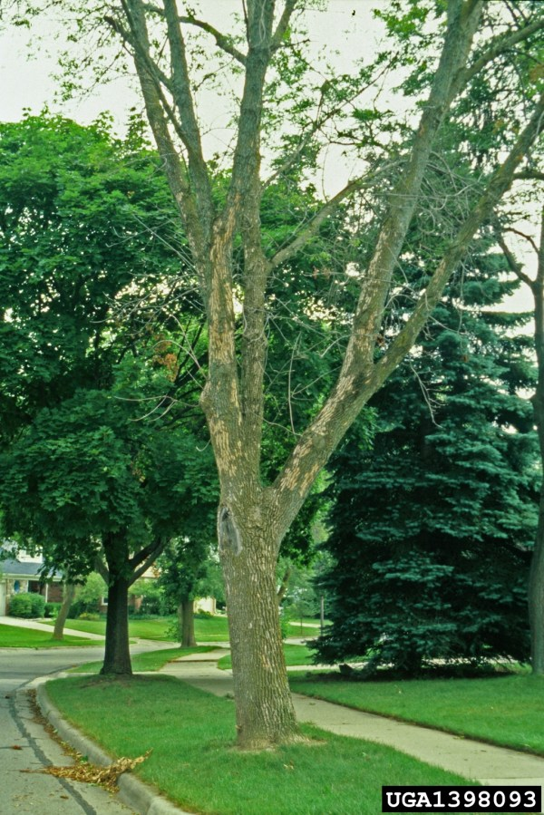 Emerald Ash Borer Agrilus Planipennis Fraxinus