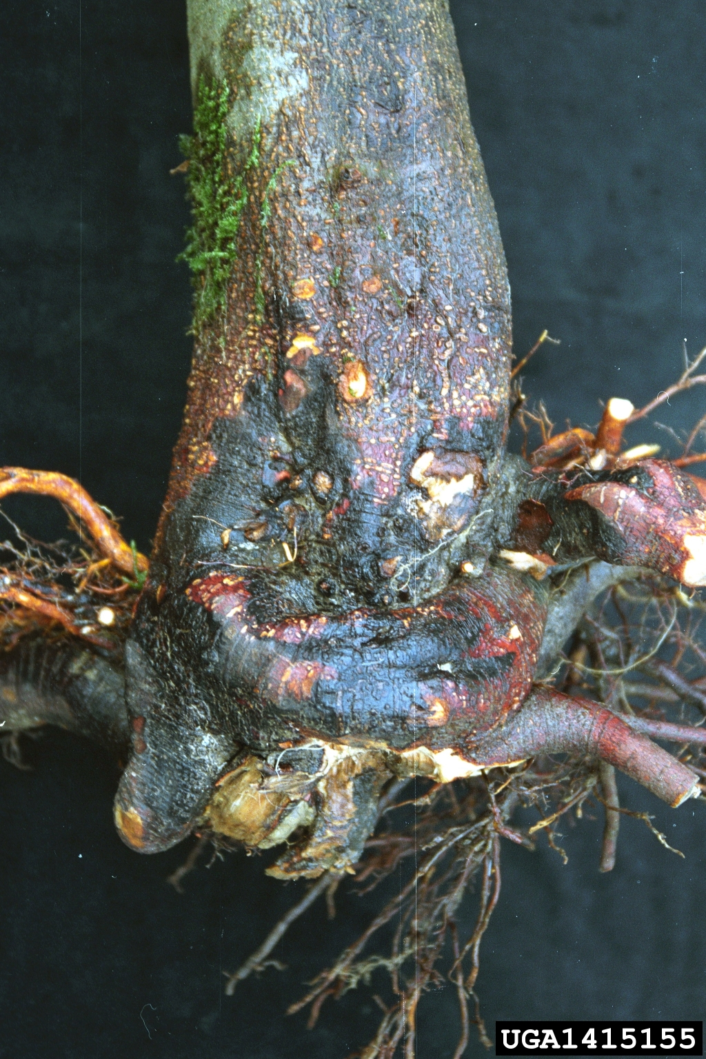 Phytophthora root and crown rot Phytophthora cambivora