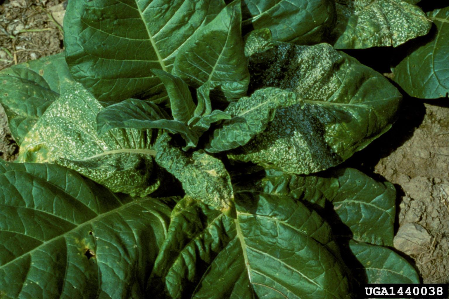 Tobacco Streak Virus Tsv Ilarvirus Tsv On Burley