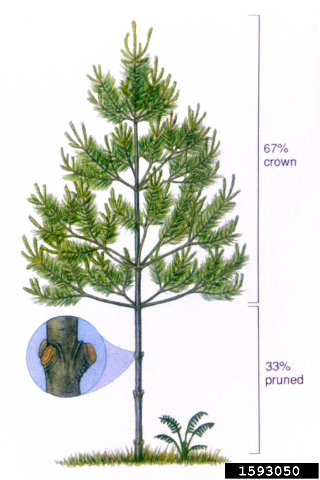 hight resolution of pine tree part diagram