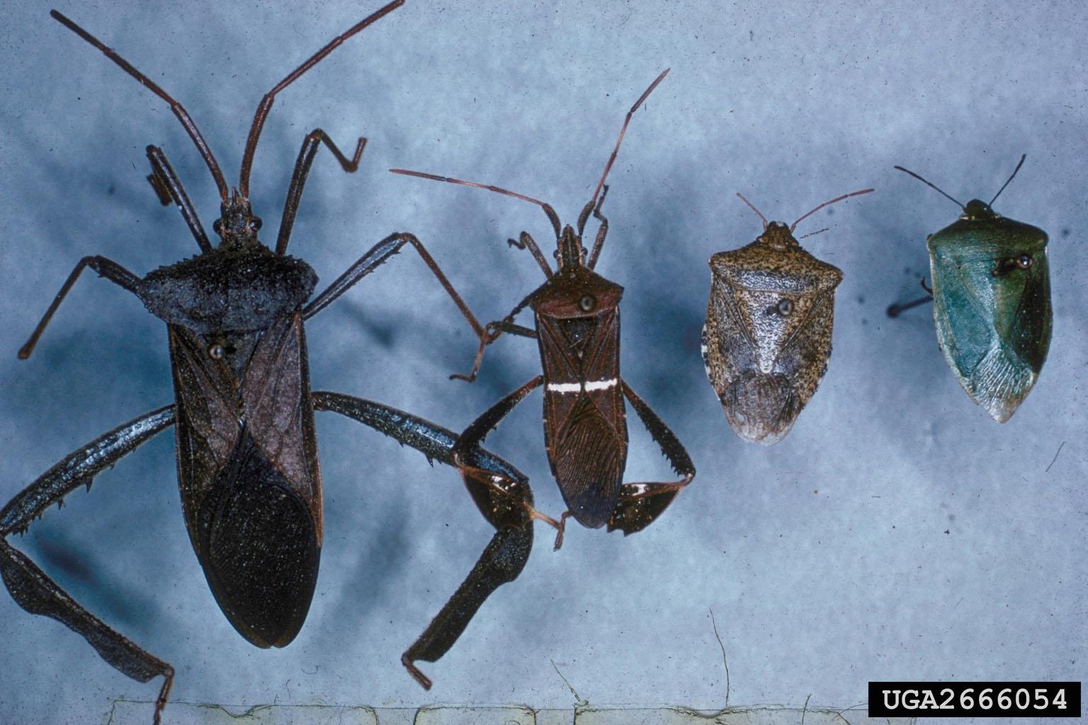 true bugs Hemiptera  2666054