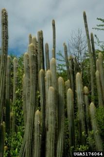 candle cactus Pilosocereus lanuginosus Caryophyllales