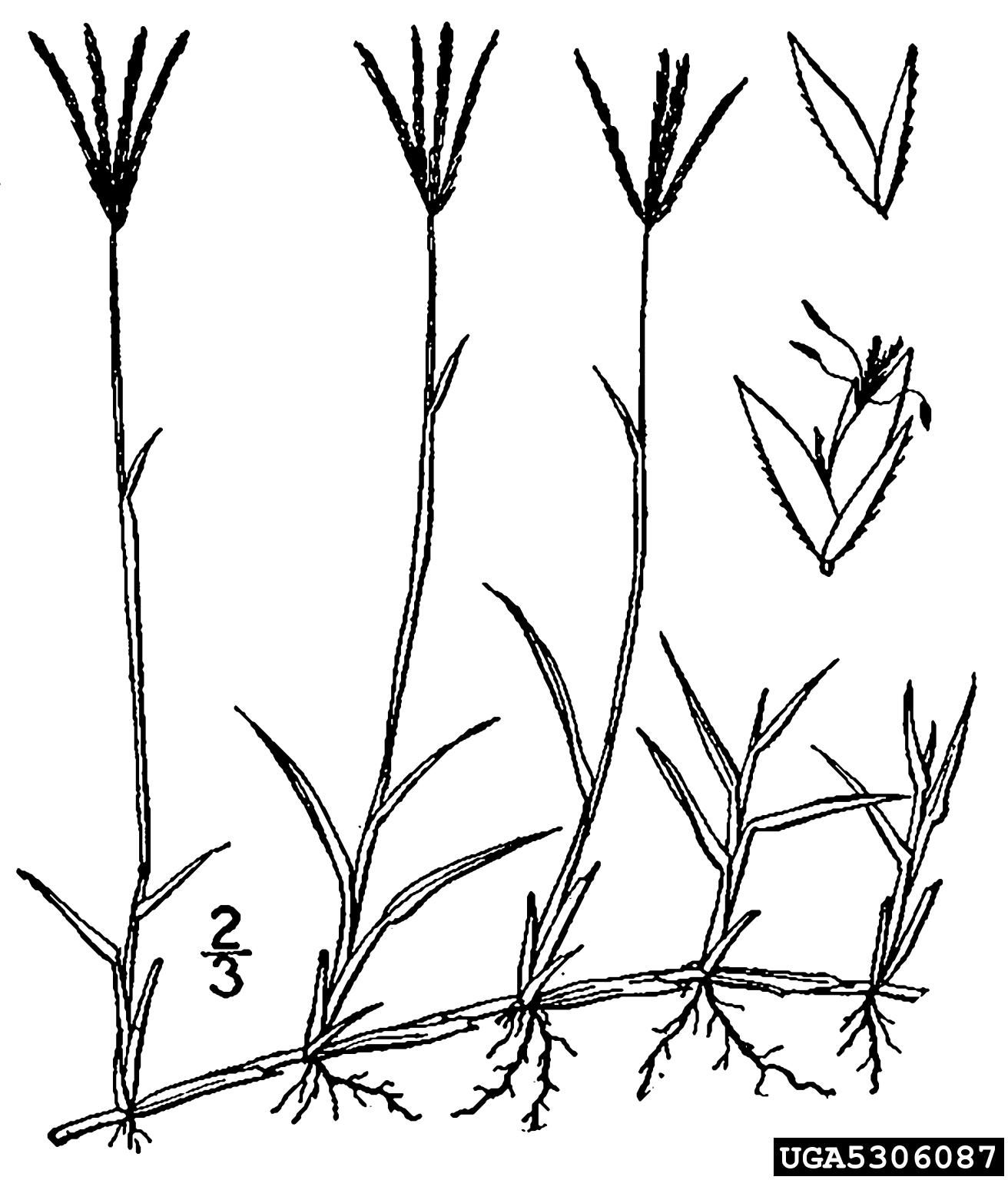 Bermudagrass Cynodon Dactylon Cyperales Poaceae