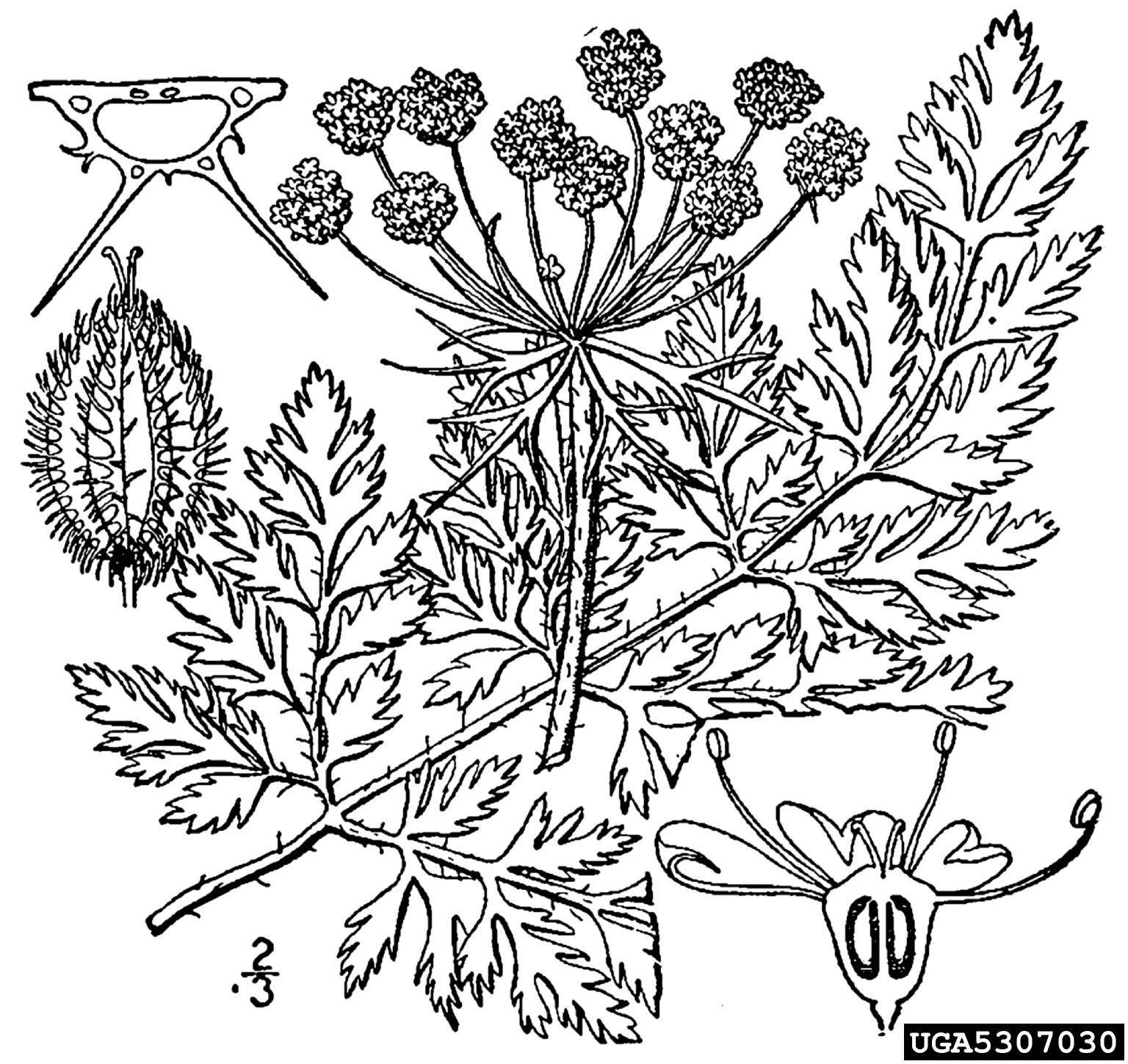 Queen Anne's lace, wild carrot, Daucus carota (Apiales