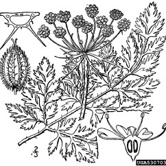Carrot Plant Diagram Warn Winch Motor Wiring Queen Anne S Lace Wild Daucus Carota Apiales Apiaceae 5307030