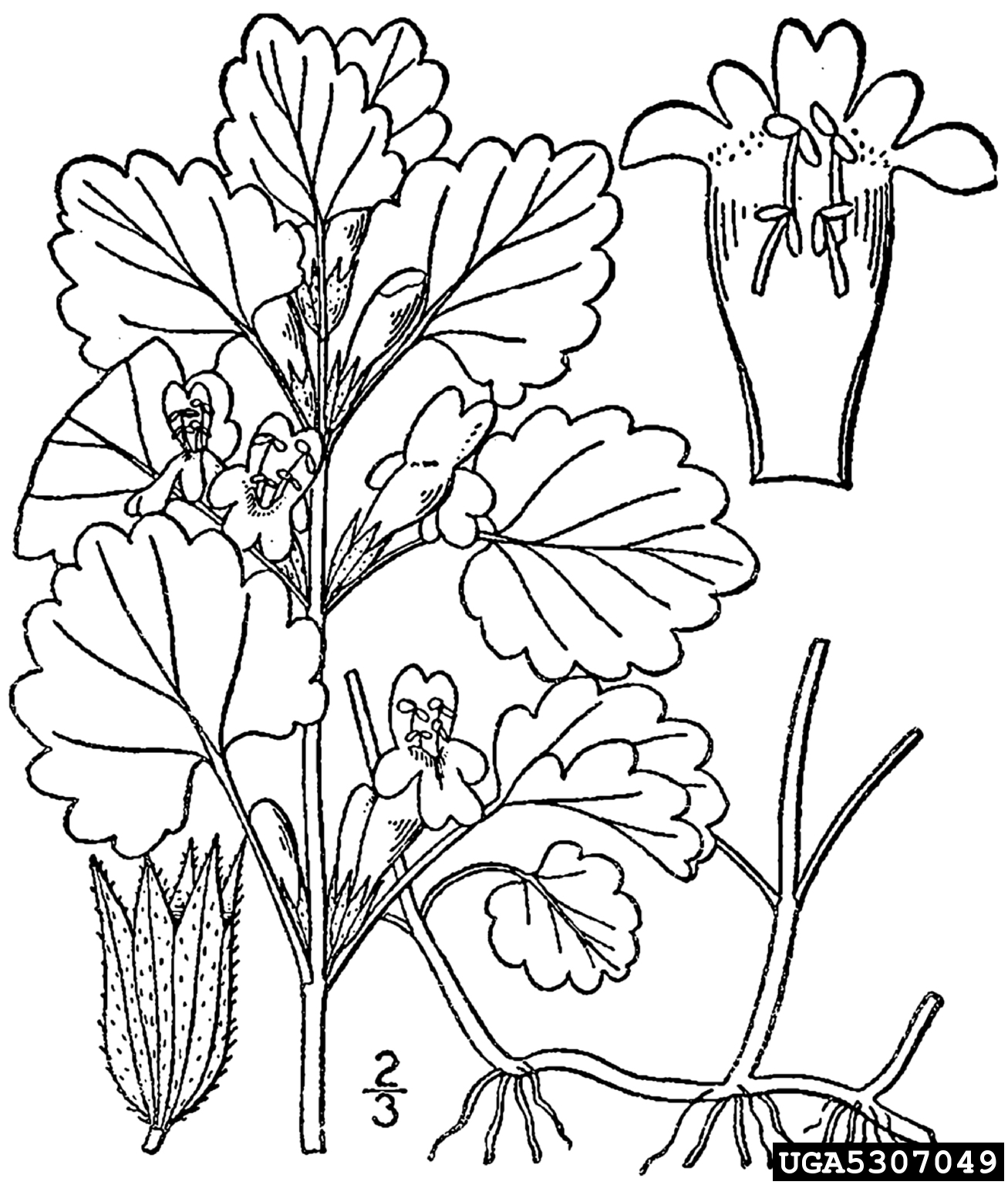 Ground ivy glechoma hederacea lamiales lamiaceae 5307049 rh invasive org diagram of mitochondria diagram of mini