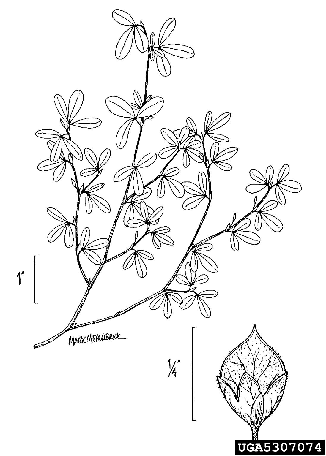 Japanese clover, Kummerowia striata (Fabales: Fabaceae