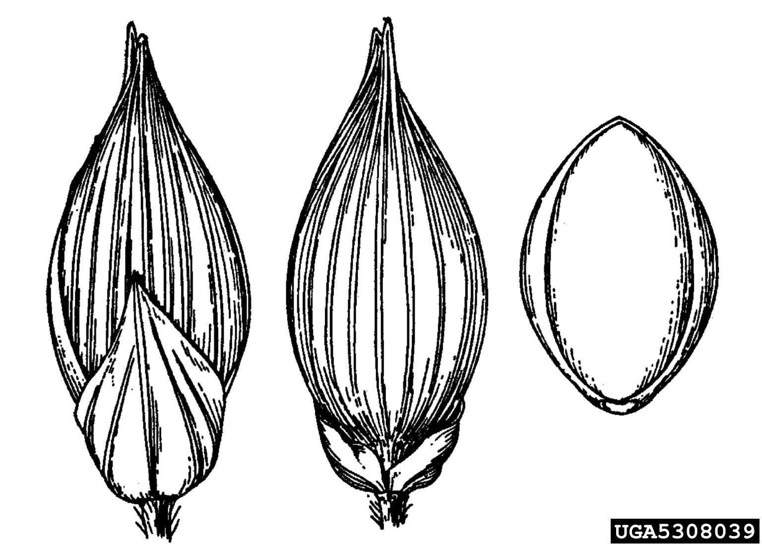 Wild Proso Millet Panicum Miliaceum Cyperales Poaceae