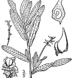 curly leaved pondweed potamogeton crispus najadales potamogetonaceae 5308060 [ 1304 x 1536 Pixel ]
