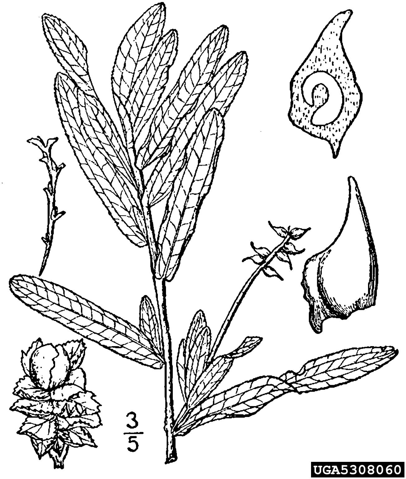 hight resolution of curly leaved pondweed potamogeton crispus najadales potamogetonaceae 5308060