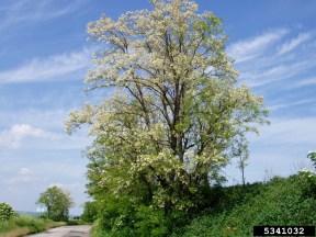 Image result for robinia pseudoacacia tree