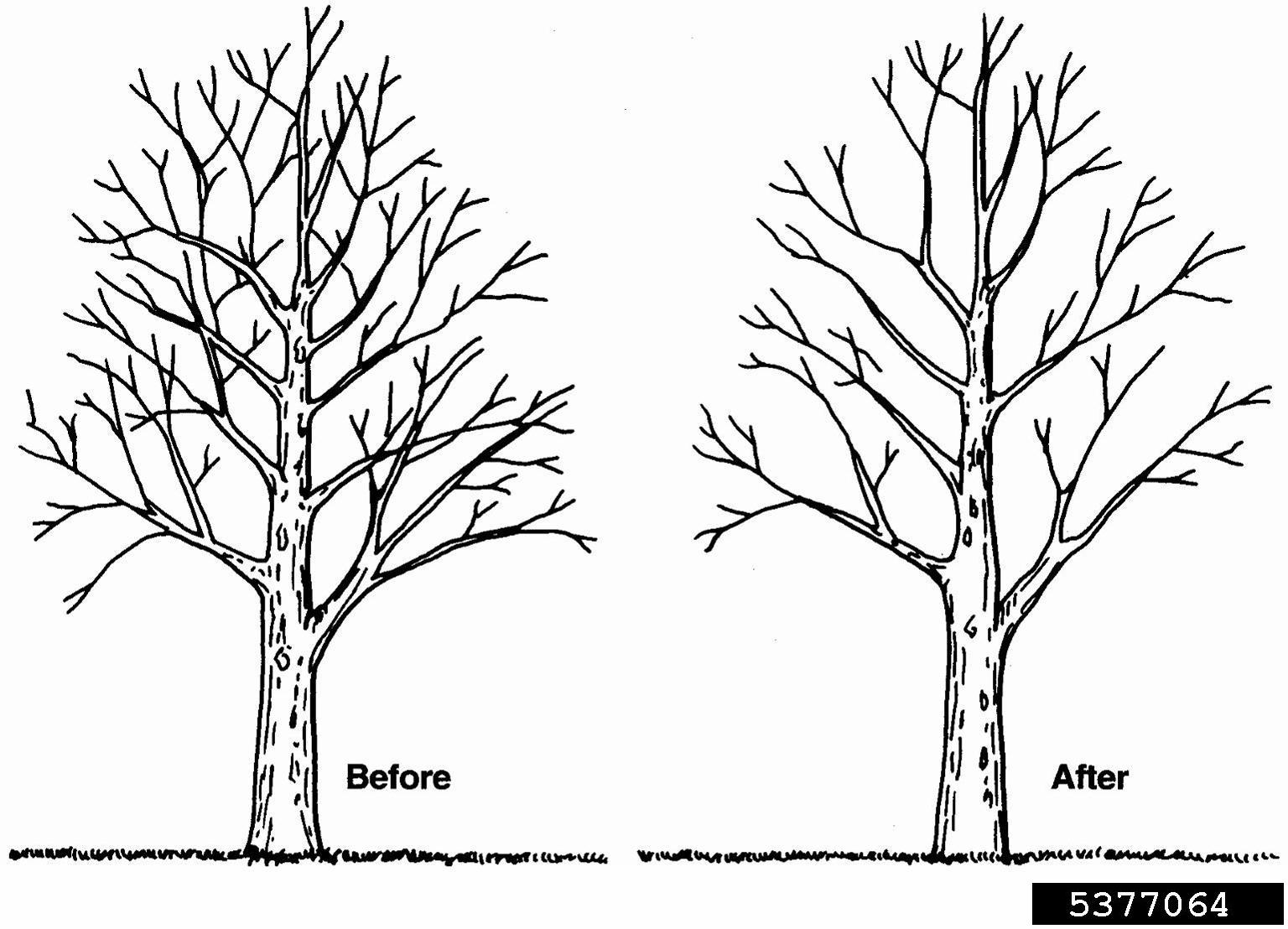 how to prune an apple tree diagram beaver life cycle crown thinning pruning 5377064