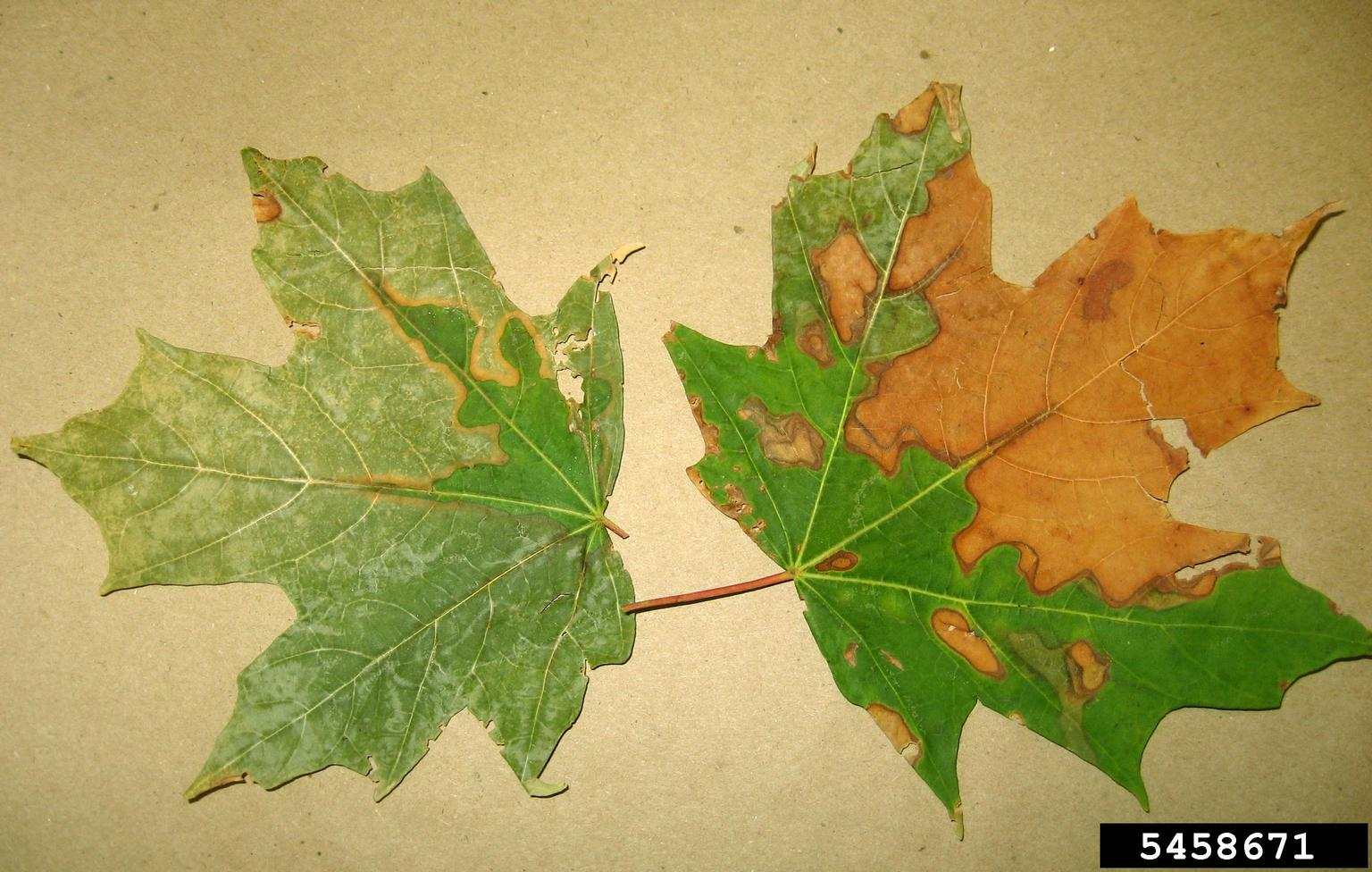 bacterial leaf scorch Xylella fastidiosa  on maple Acer