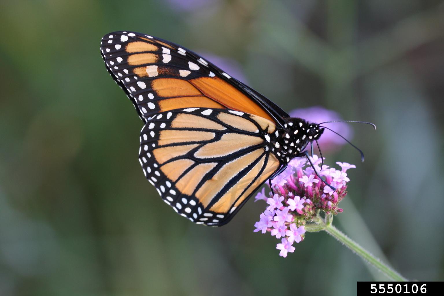 Monarch Butterfly Danaus Plexippus On Milkweed