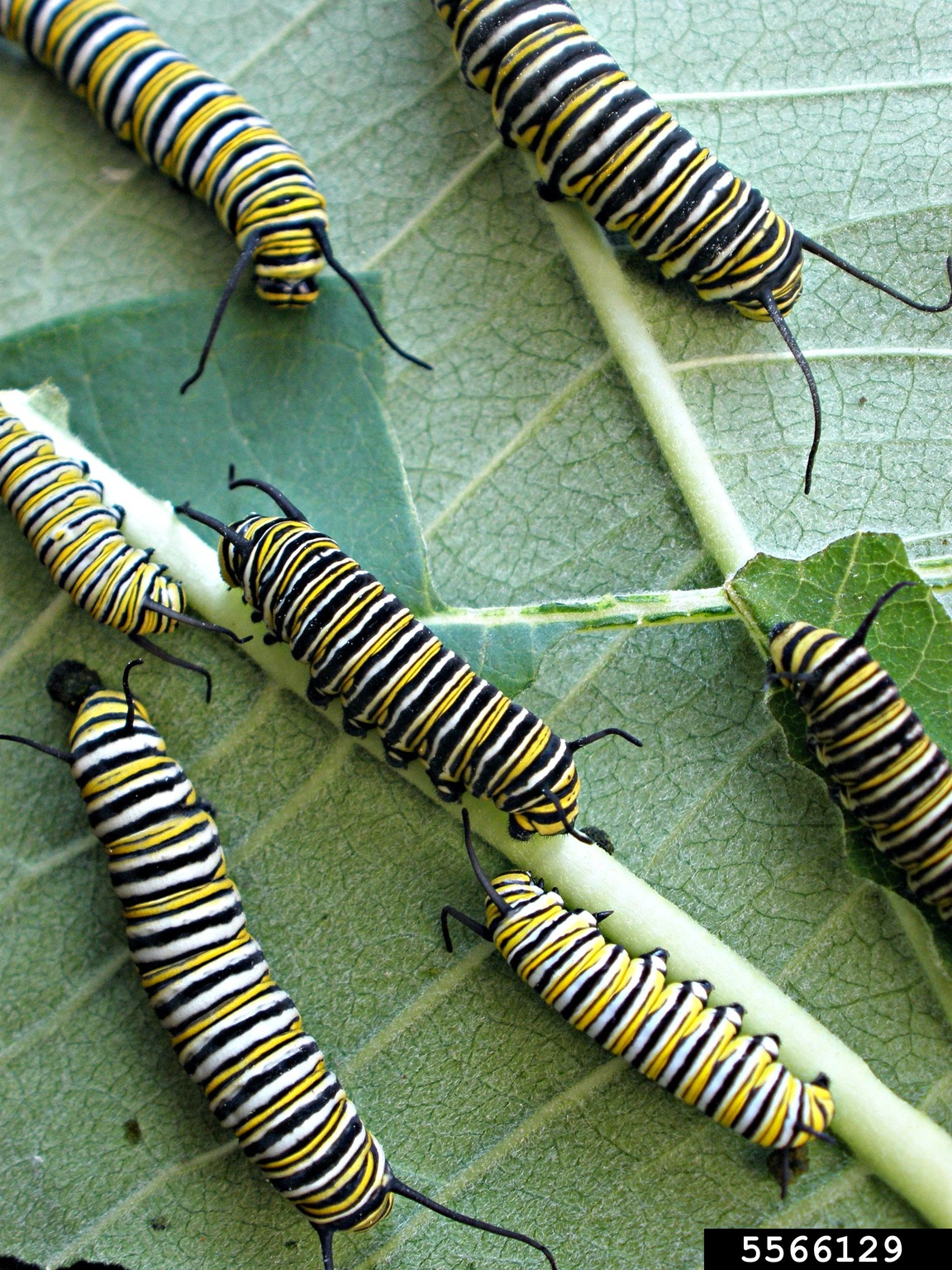 Monarch Butterfly Danaus Plexippus On Common Milkweed