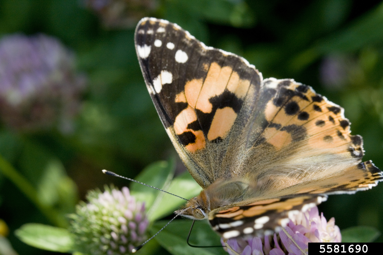 Painted Lady Butterfly Vanessa Cardui On Red Clover