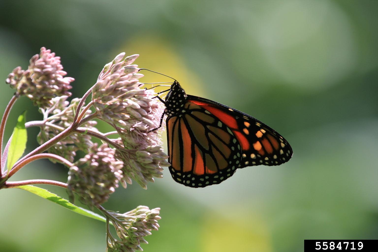 Monarch Butterfly Danaus Plexippus Lepidoptera