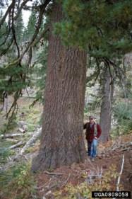 western white pine, Pinus monticola (Pinales: Pinaceae) - 0808058