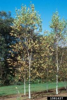 Whitespire Betula platyphylla var japonica Fagales