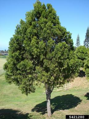 Podocarpus Macrophyllus Yew Pine