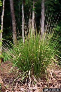 longleaf woodoats Chasmanthium sessiliflorum Cyperales