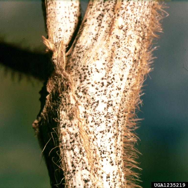 Anthracnose on soybean  Bugwoodwiki